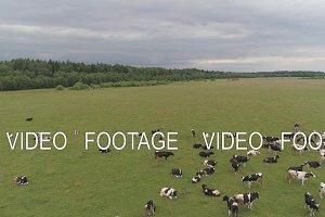 Cows graze on pasture
