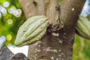 fresh ripe cacao pod on tree at