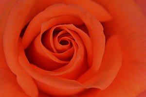 Rose (macro)
