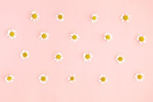 Little daisy flowers head over pink