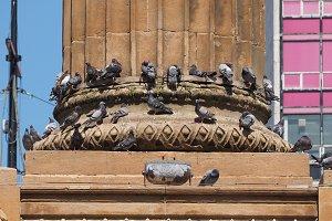 domestic pigeon birds