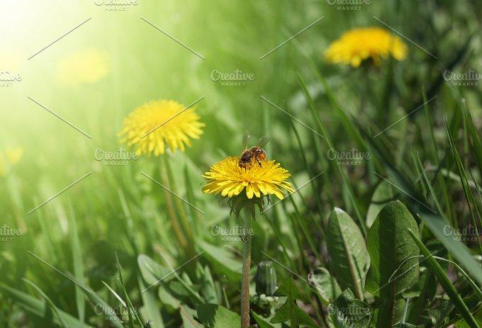 nature sunset grass dandelion - photo #21