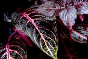 Red and green coleus leaf