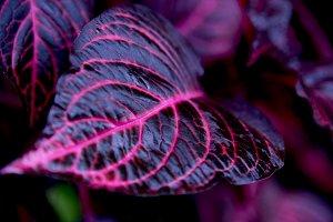 Red coleus leaf