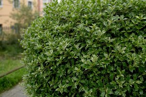 Beautiful holly plant on the street