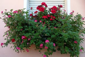 Window with geraniums on pot