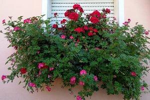 Window with geraniums on pot