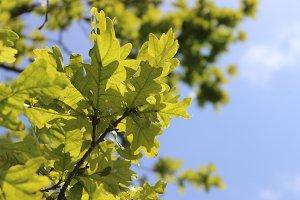 Lime Green Oak Leaves