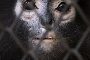 Life in cage concept. Sad Dusky leaf
