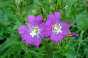 A pair flowers