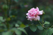 Rose flower in garden by  in Nature