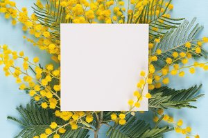 Flowers of mimosa with blank card