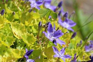 Campanula blue flowers