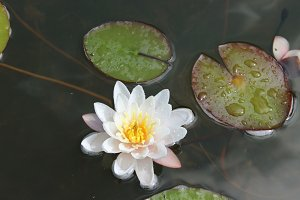 Waterlily white flowers