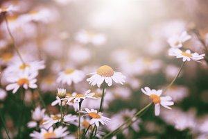 little daisy in the garden grass