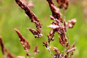 Purple Grass Seedheads
