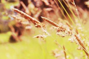 Autumn Grass Purple Seed Heads