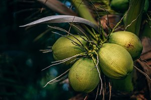 Close up of Green Coconuts