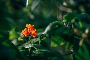 Three Orange Amaryllis Flower