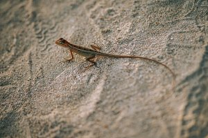 Tropical Lizard on Sand Beach