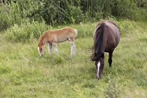 adult horse with foal
