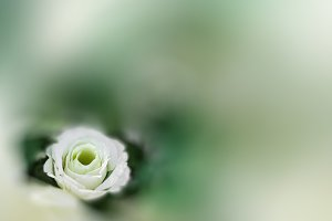 White rose in bokeh texture