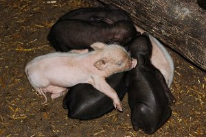 Vietnamese young piglets