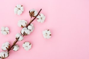 Raw cotton branch