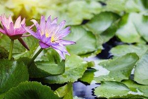 Violet and pink lotus flowers