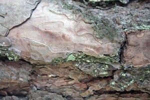 Douglas Pine Bark Texture