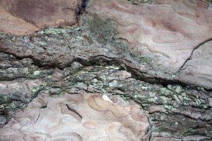 Douglas Pine Bark Texture 2