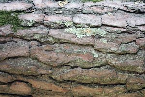 REAL Pine Bark Texture