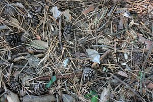 REAL Pine Forest Floor Texture