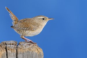 Winter wren.