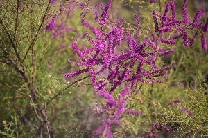 Steppe bush in magenta flowers with