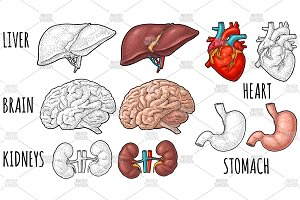 Human anatomy organs Engraving