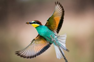 Colorful bird - Bee eater
