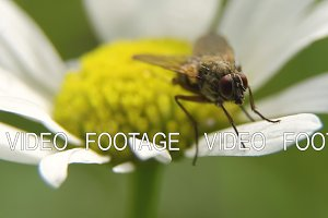 Fly on the flower.Close up.