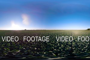 Cabbage growing on a field 360VR