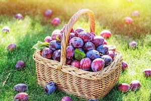 Plum harvest. Plums in the basket on