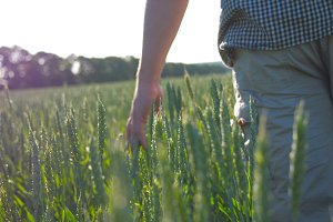 Male hand moving over wheat growing