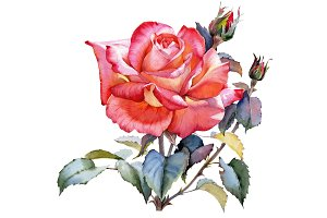 Red Rose realistic PNG watercolor