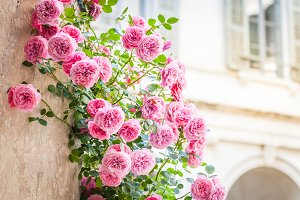 Pink roses in italian patio