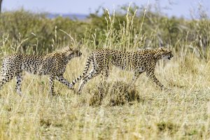 Cheetah stalking prey