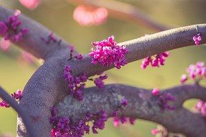 Spring Buds - Purple Flowers