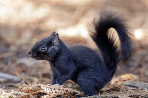 Color morphed Eastern Gray Squirrel