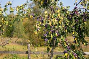 plum tree harvest