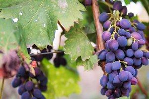 Beautiful blue grape vine