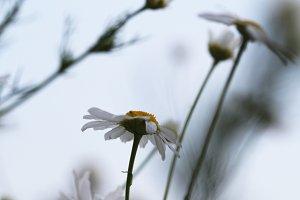 Little daisy in the garden. Soft.