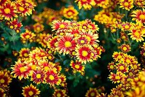 cluster of orange chrysanthemum